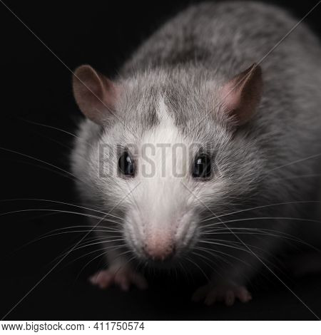 Gray Rat Portrait Isolated On Black Background. Rodent Pet. Domesticated Rat Close Up. The Rat With