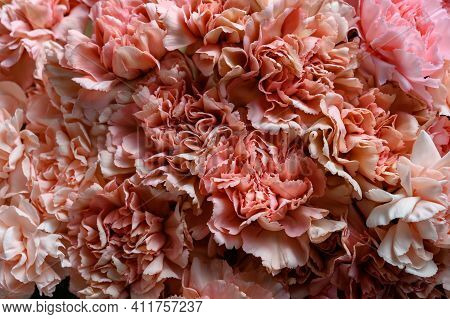 Pink Carnation Flowers. Top View. Close Up Carnation Flower Texture