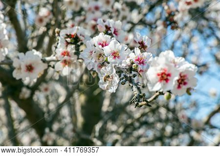 Blossoming almond branches. White and pink almond flowers decorate the trees. Almond trees are covered with beautiful white and pink flowers. Early spring in Israel. February