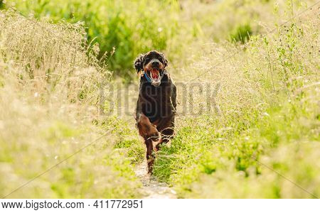 Gordon setter dog running with tongue out on summer nature
