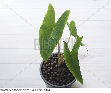 Top View Of Philodendron Plants In Pots On An Old Wooden Table, Beautiful Houseplant \'philodendron