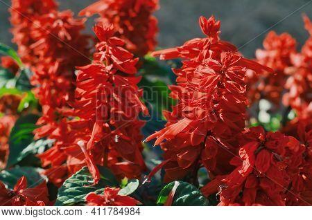 Red Salvia Splendens ( Salvia Sage, Salvia Nemorosa ) Flowers Blooming In Garden, Selective Focus.