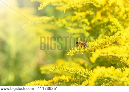 Bee And Flower. Close Up Of A Striped Bee Collecting Pollen On A Yellow Flower Solidago (goldenrod C