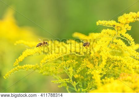 Bee And Flower. Two Bees Collecting Pollen On A Yellow Flower Solidago (goldenrod Common) On A Sunny