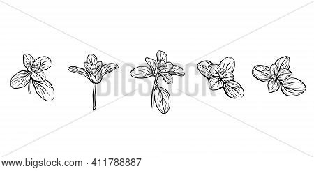 Basil Leaves Isolated On A White Background. Italian Herbs.a Sprig Of Marjoram. Basil Is A Fragrant