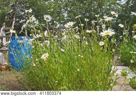 White Flowers Daisies Or Chamomile In A Flower Bed In A Garden. Selective Focus