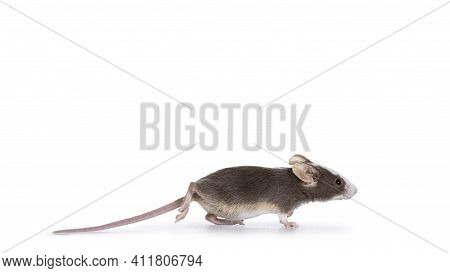 Cute Brow With White Baby Mouse, Running Side Ways. Iolated On White Background.