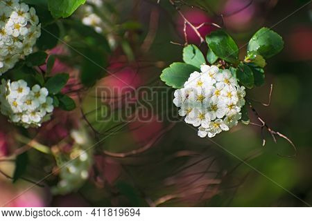 The  Fresh Branch With Inflorescences Of White Spirea Flowers And Green Leaves On Blurred Multicolor