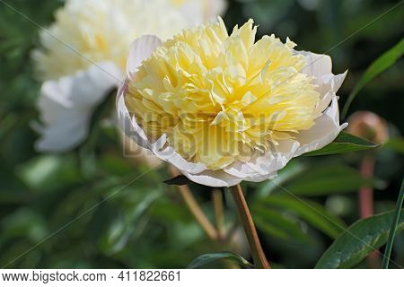 Beautiful Lonely Terry Bright Yellow Pion Flower On Blurred Multicolored Floral Background