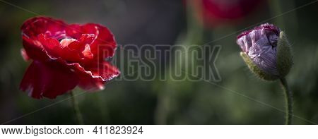 Panorama With Red, Pink Poppies, Selective Color.poppy Meadow In The Light Of The Setting Sun, Poppy