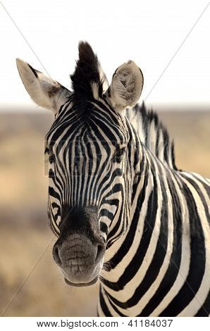 Close-up of a Burchell's zebra