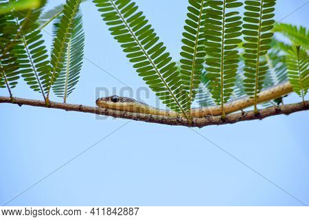 Dendrelaphis Tristis Snake And The Common Name Is Bronzeback Tree Snake On The Twig Of Tree With Blu