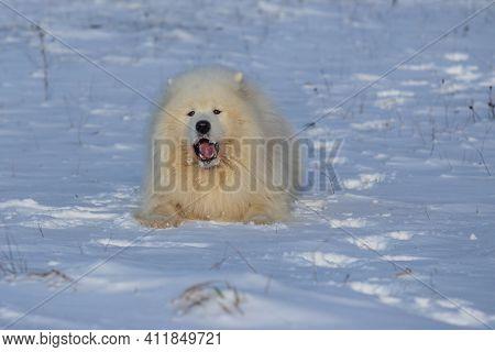 Samoyed - Samoyed Beautiful Breed Siberian White Dog. The 4-year-old Dog Is Lying In The Snow And Ha