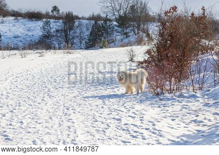 Samoyed - Samoyed Beautiful Breed Siberian White Dog. A Four-year-old Dog Stands In The Snow On A Pl