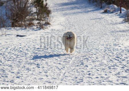Samoyed - Samoyed Beautiful Breed Siberian White Dog. The Dog Runs Along A Snowy Path And Has A Tong