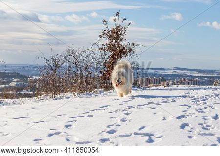 Samoyed - Samoyed Beautiful Breed Siberian White Dog. The Dog Runs On A Snowy Path And Has His Tongu