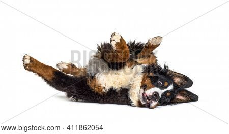 Crazy bernese monutain dog lying on its back, isolated