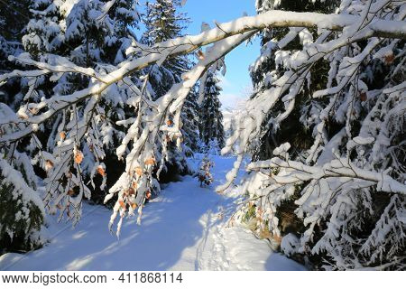 Snow covered tree brunch in Carpathian forest, Ukraine
