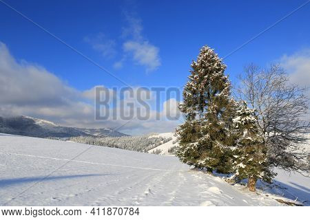 winter landscape with pine tree on mountain meadow in sunny day. Carpathians in Ukraine