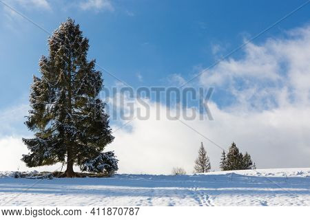 tall coniferous tree in a snowy meadow in the mountains. Carpathians in Ukraine