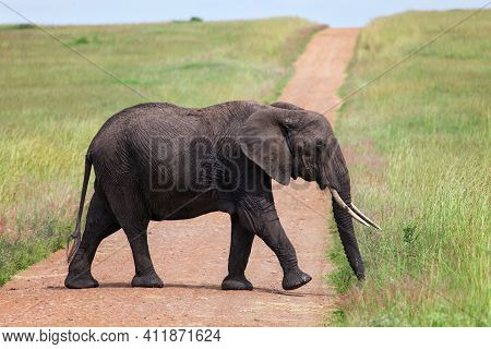 Young African Bush Elephant (loxodonta Africana) Crossing The Road