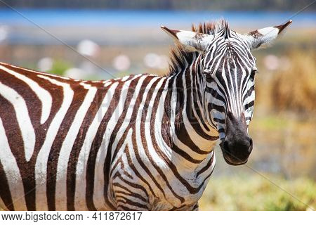 Closeup Portrait Of The Plains Zebra (equus Quagga) With A Flatten Ears