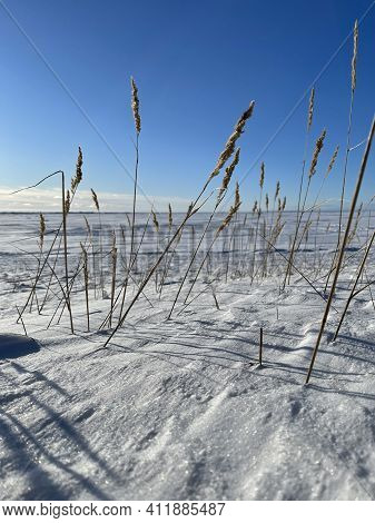 The Dry Grass Ears On A Wind On A Snow-covered Field In Clear Sunny Frosty Weather, Long Shadows Fro