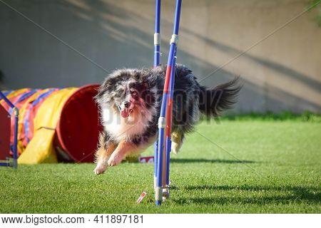 Australian Shepherd Is Running In Agility.  Amazing Evening, Hurdle Having Private Agility Training