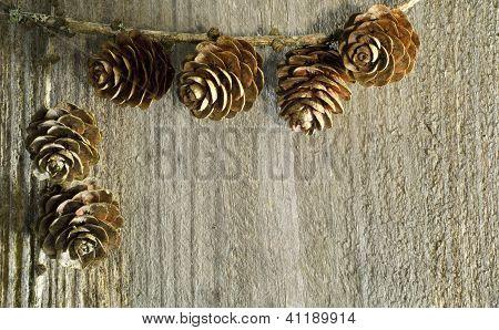 Larch Tree Cone Background