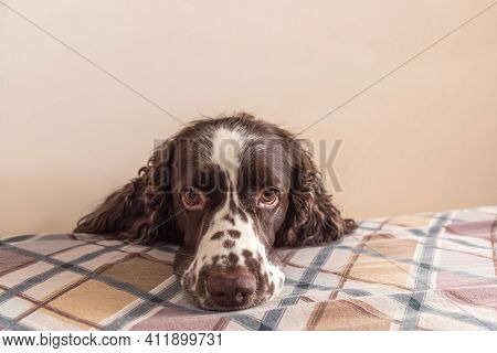 Dog With Cute Sentimental Eyes Put It Muzzle On A Bed And Looking At The Camera. Staying Alone At Ho