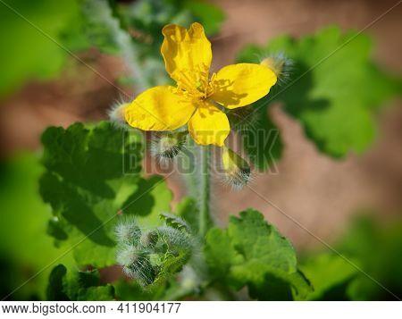 Yellow Flower Of Greater Celandine, Chelidonium Majus