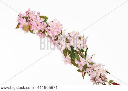 Pink cherry blossom spring tree branch