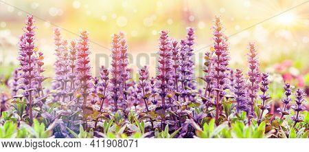 Flowering Purple Flower In Meadow, Beautiful Nature In Spring