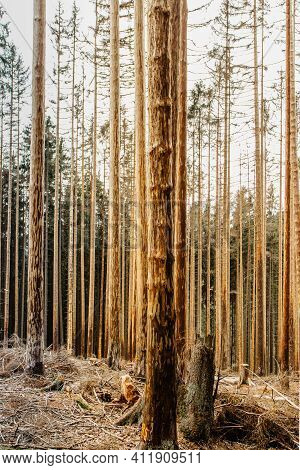 Damaged Dead Trees In Forest.dying Forest In Czech Republic Because Of Climate Change, Drought And B