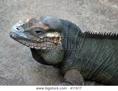 Rhinocerous Iguana
