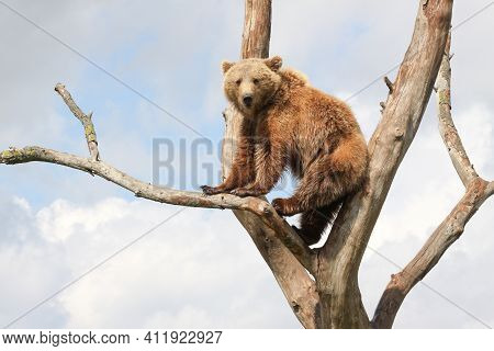 Young Brown Bear In A Tree In Denmark