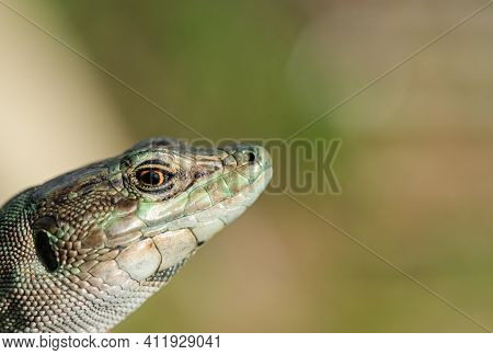 Macro View Of Italian Lizard Face And Eyes, Reptile Skin, Podarcis Siculus, Animals