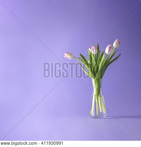 Bright Pink White Colorful Tulips Flowers Blooming. Holiday Bouquet On Violet Background. Copy Space