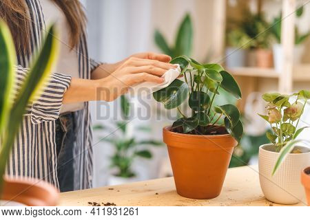 Woman Gardeners Cleans And Cares For The Leaves Of A Plant In Ceramic Pots On The Wooden Table. Home