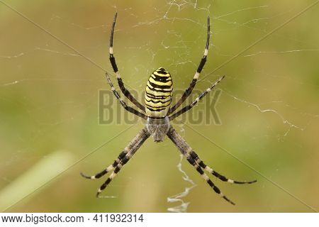 Closeup Of A Colorful Orb-web Wasp Spider, Argiope Bruennichi On Green Background