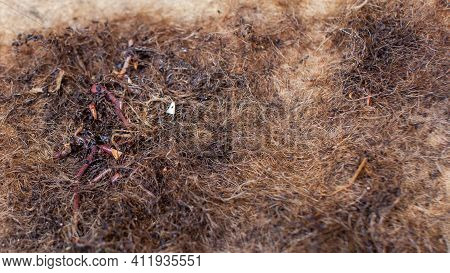 Composting Worms (red Wigglers) Bunched Up On A Coconut (coco) Coir Mat, Which Is Used As The Top La
