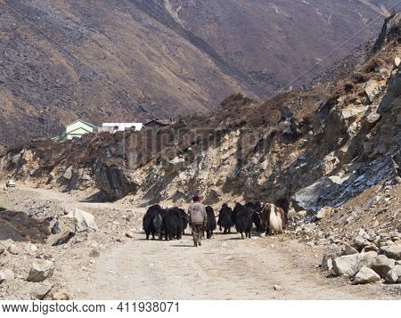 The Yak On The Road. Himalayan, Sikkim Area, India. 2011 April 15Th.