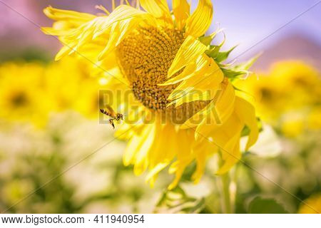 Field Of Blooming Yellow Sunflowers In The Summer Season In Sunflowers Farm And Other Flowers