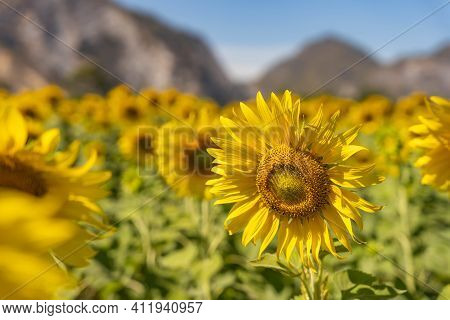 Field Of Blooming Yellow Sunflowers In The Summer Season In Sunflowers Farm And Other Flowers With A