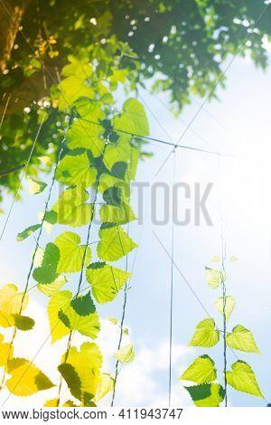 Fresh green hops on the tree.