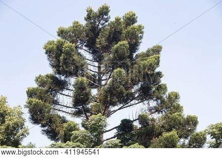 Upward View Of Branches Of Tall Fir Tree