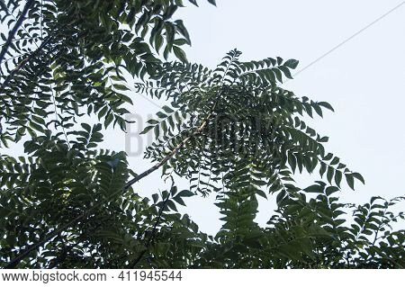 Upward View Of Branches And Leaves Of Curry Leaf Tree