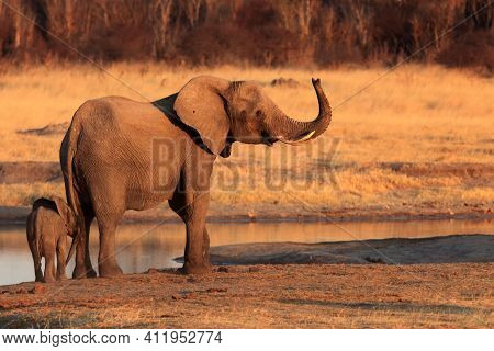 Female African Bush Elephant (loxodonta Africana) With Baby Elephant At A Water Source.mother With C