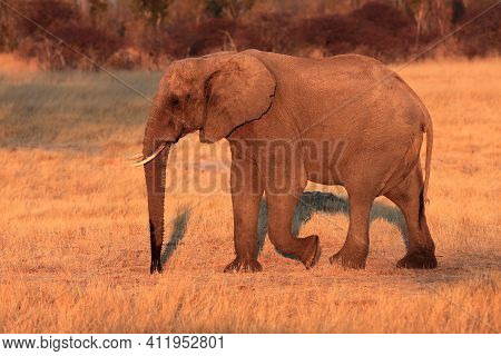 The African Bush Elephant (loxodonta Africana) Goes Grass. Large Mammal Goes In Evening Sun.