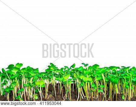Green Shoots Of Radish Vegetables On A White Background. Green Radish Seedlings. White Background. S